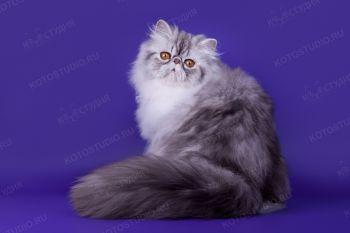 Персидская кошка из питомника Selenwey