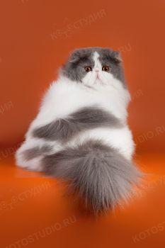Malinka Bonopart. <p>Кот персидской породы из г. Томск</p>