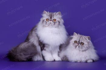 Персидские кошки из питомника Selenwey.