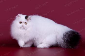 Snowball Rus Carolina. <p>Кошка Персидской породы из г. Ульяновск</p>