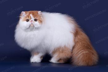 Персидский кот Sigel Amur. <p>Заводчик - Галина Свербягина, г. Самара</p>