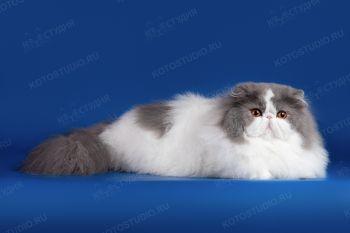 Malinka Bonopart - персидский кот. <p>Заводчица - Чернова Анастасия, г. Томск.</p>