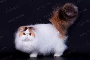 Snowball Rus Darina. <p>Персидская кошка, заводчик - Ольга Окишева, г. Екатеринбург</p>