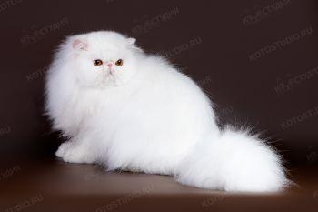 Ximuly's White Lily. <p>Персидская кошка белого окраса</p>