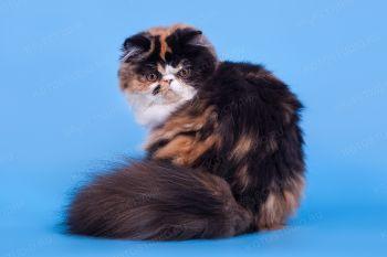 Кошка Персидской породы.