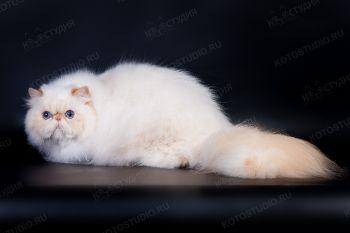 L*Simphony*s Steve. <p>Персидский кот из г. Краснодар</p>