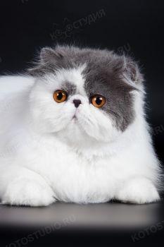 Персидская кошка Titbit Juliet. <p>Заводчица - Свербягина Галина, г. Самара</p>