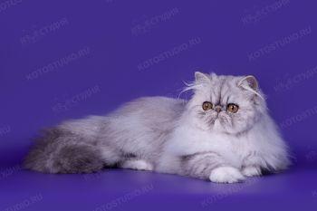 Персидская кошка из питомника Selenwey.