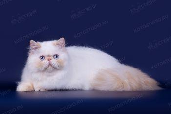 Персидский кот из г. Ульяновск. <p>Заводчик - Ольга Бурмистрова</p>