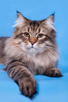 J.Ch WCF Моласка Ерофей. Сибирский кот окраса n 09 24.
