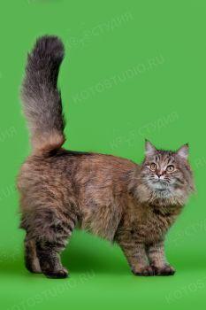 Varenka Dostoyanie Sibiri. <p>Кошка Сибирской породы</p>