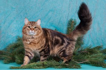 Ch.WCF Taurus Amulet. Сибирский кот.