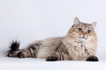 Рада Волжская краса. <p>Кошка Сибирской породы</p>
