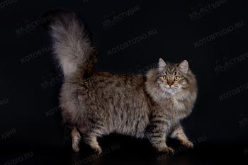 Оливия Манчжури. <p>Сибирская кошка из г. Воронеж</p>