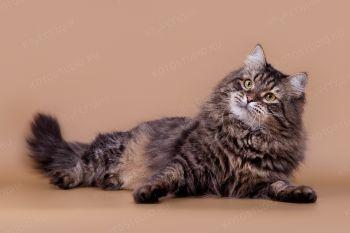 Васек Адажио. <p>Сибирский кот из г. Казань</p>