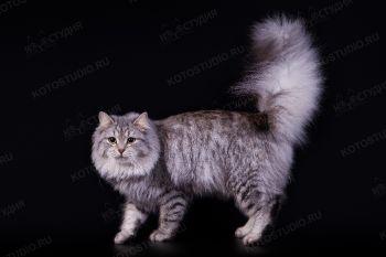 Кошка Сибирской породы.