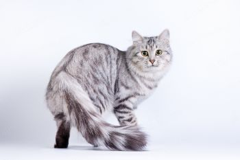 Сибирская кошка по имени Ватрушка.