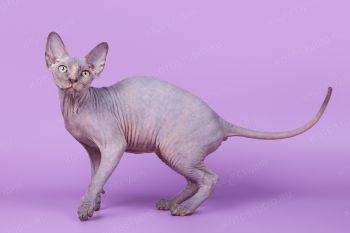 Кошка породы Канадский сфинкс.