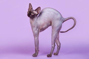 Amelia. <p>Кошка канадский сфинкс</p>