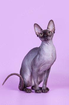 Ева Черный Бриллиант, кошка породы Канадский сфинкс черного окраса. Питомник Эмалет Кэт.