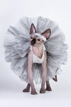 Элина Тен. <p>Кошечка-балерина породы канадский сфинкс</p>