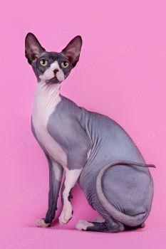 Alisha of Surskie Zori. <p>Кошка Канадский сфинкс</p>