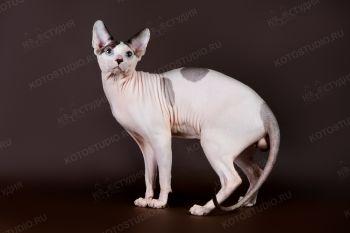 Эдмонд Влада. <p>Кот породы канадский сфинкс</p>