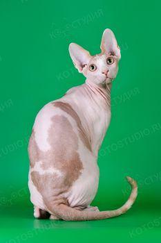 Котик канадский сфинкс из питомника Menkaura.
