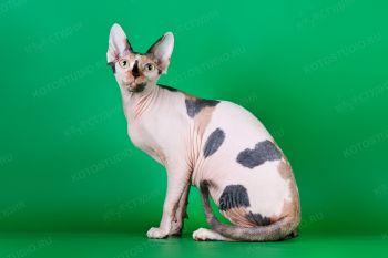 Menkaura Ornella Mutti. <p>Кошка Канадский сфинкс</p>