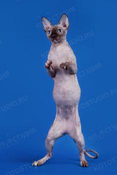 Abigel. <p>Кошка канадский сфинкс</p>