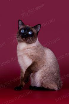 IshkHan. <p>Кот породы Меконгский бобтейл</p>