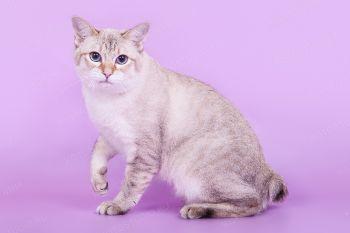 Кошка породы Меконгский бобтейл.