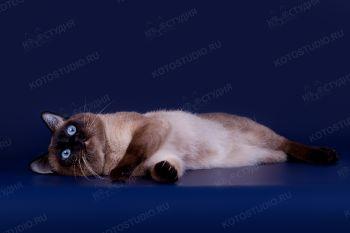 IshkHan - кот породы Меконгский бобтейл.