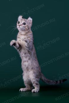 Кошка породы Американский кёрл.