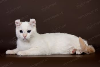 Curl Harbours Lisa. <p>Кошка породы Американский кёрл</p>