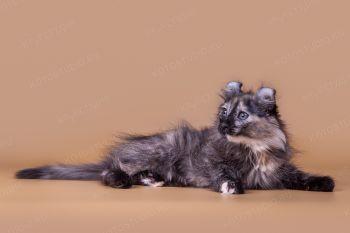 Котенок породы Американский кёрл.