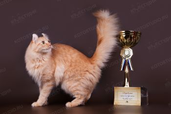 Exclusive Cats Fluffy Gold Nace. <p>Кот породы Американский кёрл</p>