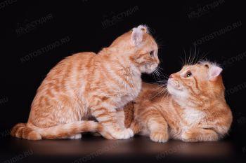 Американский кёрл - котенок с мамой