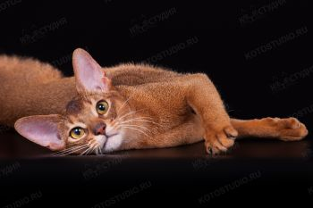 Абиссинская кошка на черном фоне