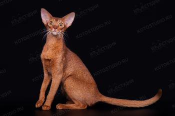 Абиссинская кошка окраса соррель.