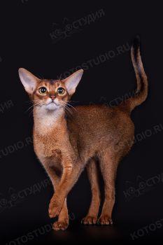 Абиссинская порода кошек.