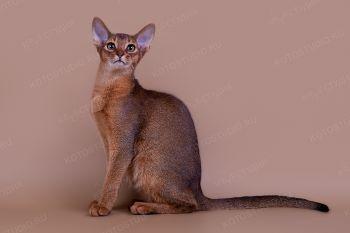 Banafrit Dandy. <p>Кот абиссинской породы</p>