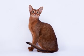 Абиссинская кошка дикого окраса.