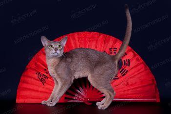 Абиссинский кот голубого окраса.