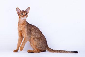 Абиссин кошка дикого окраса.