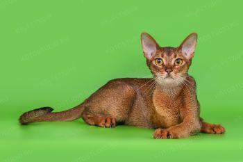Кошечка абиссинской породы.