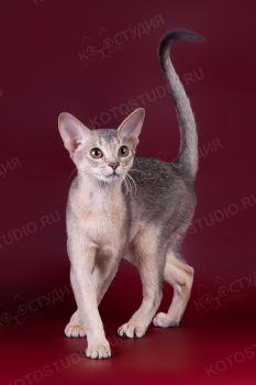 Omnia Mea Blue Illusion. <p>Кошка абиссинской породы</p>