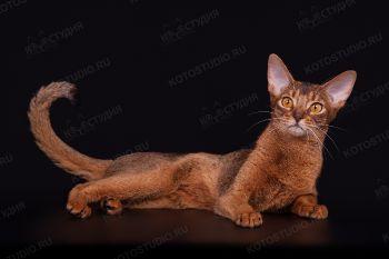 Абиссинская кошка на черном фоне.