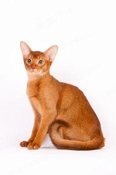 ISOLDA SARAFANNY. <p>Кошка абиссинской породы</p>