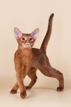 Абиссинский кот окраса соррель.
